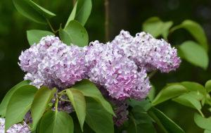 Lilacs finally in bloom